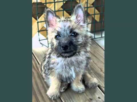 Dogs Picture Collection Of Puppy Terrier Cairn | Picture Ideas Of Dog Breeds