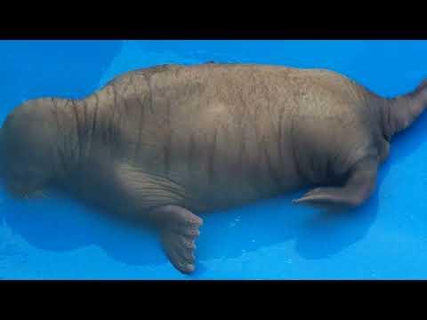 3 month old Walrus at Alaska Sealife Aquarium in Seward