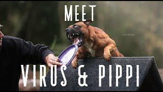 Meet Virus & Pippi || Staffordshire Bull Terrier