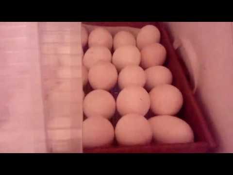 Вопрос: Когда лучше закладывать яйца индюков на инкубацию?