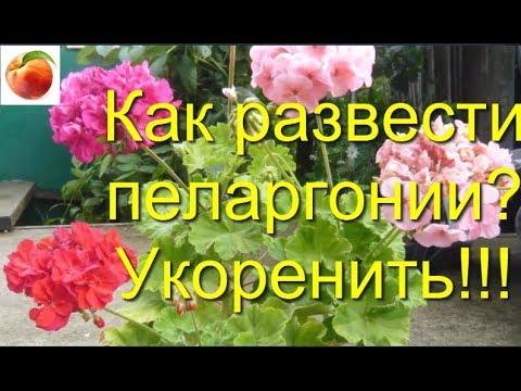 Пеларгония Герань Как осенью размножить черенками Pelargonium укоренение geranium variété
