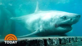 Great White Shark Spotted In Long Island For 1st Time Ever | TODAY