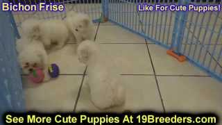Bichon Frise, Puppies, For, Sale, In, Rio Rancho, New Mexico, County, Nm, Sandoval, San Juan, Mckinl