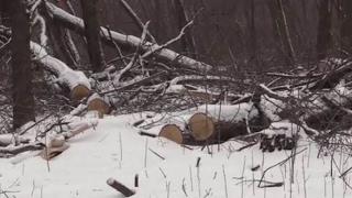 Кто незаконно рубит дубы под Волновахой?
