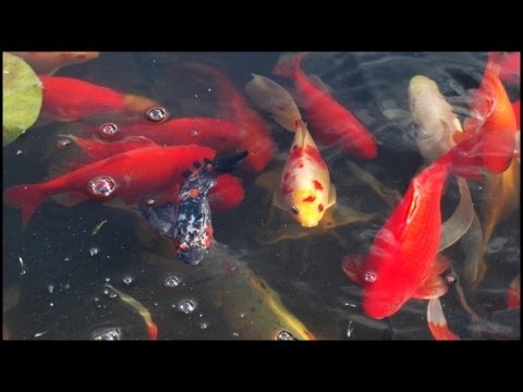 Koi Carp Fish In Pond (Cyprinus Carpio)