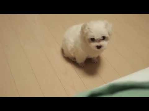 귀여운 강아지 : 침대에 올려달라고 깽깽거리는 강아지, baby puppy wants to come up to our bed