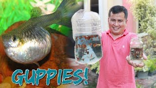 BUYING  new STRAIN of GUPPY FISH (HIS BREEDING GUPPIES TO FINISH HIS STUDIES)