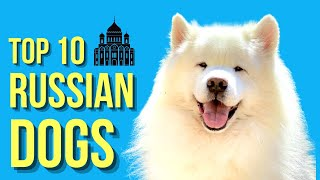Top 10 Russian dog breeds ( Popular Dogs From Russia )
