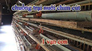 Review Chuồng Trại Nuôi Chim cút - 1 Vạn Con