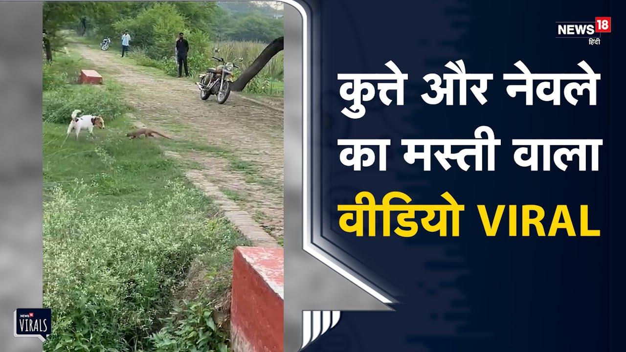 UP | Raja Bhaiya के कुत्ते पर भारी पड़ा नेवला, वायरल वीडियो में समाने आया मस्ती का नजारा | ViralVideo