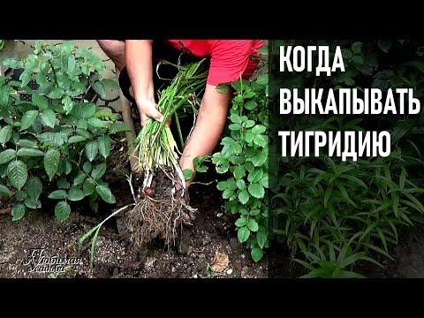 Луковичные цветы для сада Тигридия Когда выкапывать тигридию