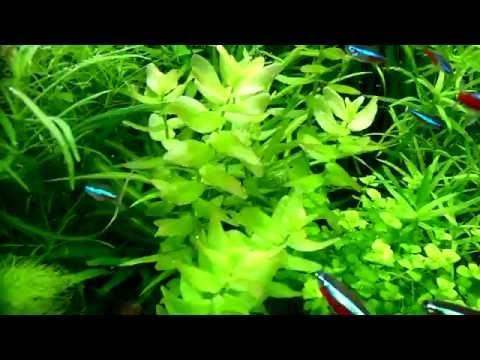 Bacopa caroliniana aquarium plants