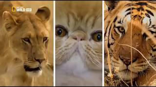 National Geographic - Дикая сторона кошки