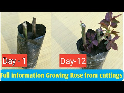 How to Grow Roses from Cuttings without Rooting Hormone