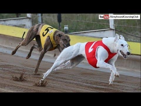 Track Race 10-11-12 February 2018 #2 | Dog Race 2018 | Racing Greyhounds