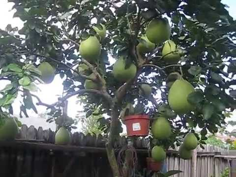 FRUIT TREE | Pomelo, a cousin of grapefruit, pomelo tree & fruits #2