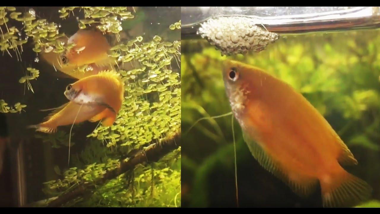 Honiggurami Paarung - Nest - Eier - Brut - Jung Fische - YouTube