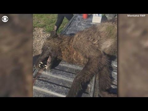 Mystery creature shot in Montana puzzles experts