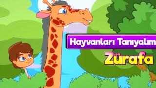 Zürafalar 🦒 Çocuklar İçin Hayvanlar Çizgi Film & Zürafa Çocuk Şarkısı