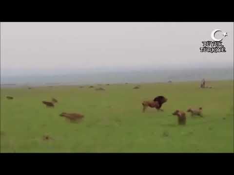 Çakalların özgürlüğü Aslan ayağa kalkana kaderdir!