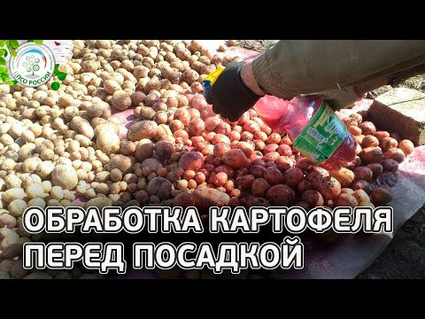 Обработка клубней перед посадкой. Химические и народные способы обработки картофеля.