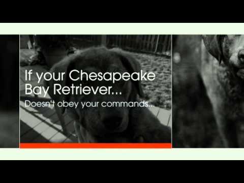 Chesapeake Bay Retriever Training Tips