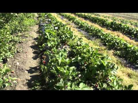 Strawberry breeding - Breeding for more fruit
