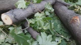 #2.Заготовка древесины. Ясенелистный и остролистный клен.