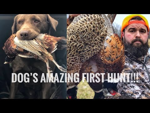 A Dog's First Bird! Chief's A Natural! - Pheasant Hunting Indiana
