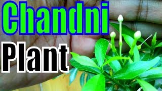 Chandni Plant Kyon Flowering Nahi Karta | Must Watch