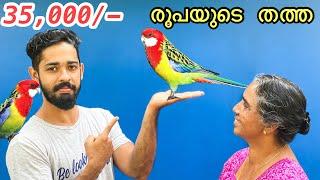 35,000/- രൂപയുടെ തത്തയെ മേടിച്ചു | Bought Two New Expensive Exotic Birds | Rosella Bird Mayalayam