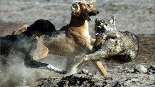 Охота на волка с собаками (тайганами)
