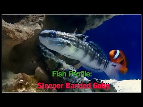 Fish Profile: Sleeper Banded Goby