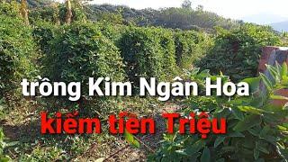 Mô hình trồng cây Kim Ngân Hoa / cây chữa các bệnh ngoài da