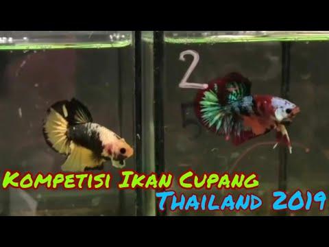 Kompetisi Ikan Cupang Di Thailand - Betta Fish Competition In Thailand - Interfish Competition 2019