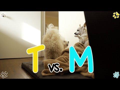 TOTO vs. MARI - Chihuahua vs. Maltipoo (치와와와 말티푸의 대결)