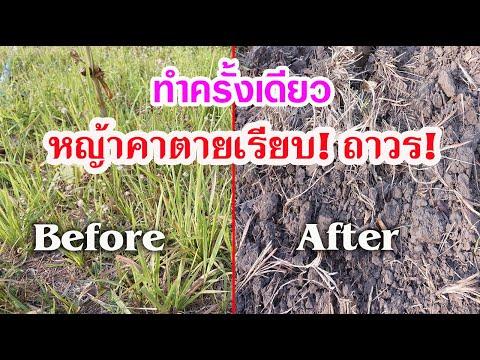 วิธีกำจัดหญ้าคาให้สิ้นซาก! แบบถอนรากถอนโคน (ไม่พึ่งเคมี) ทำครั้งเดียวหายจากสวนถาวร