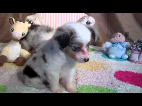 Teacup Toy Aussie's from Tug@YurHart in CO