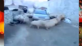 Бараны закружили машину! Приколы про животных!