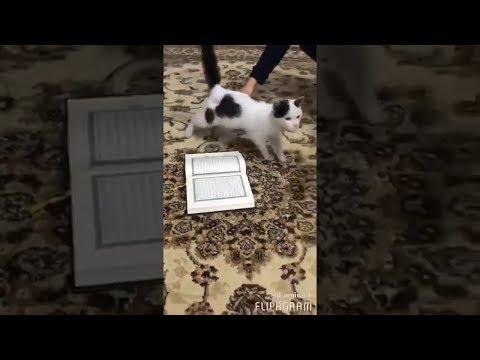 ПОЧЕМУ КОШКИ НЕ НАСТУПАЮТ НА КОРАН? Реакция кошек на Коран!