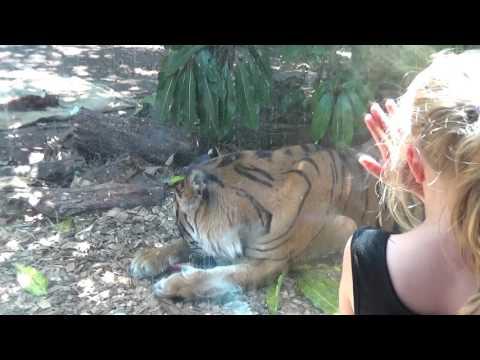 Seal & Tiger Encounter Auckland Zoo, sunny 5/1/2017