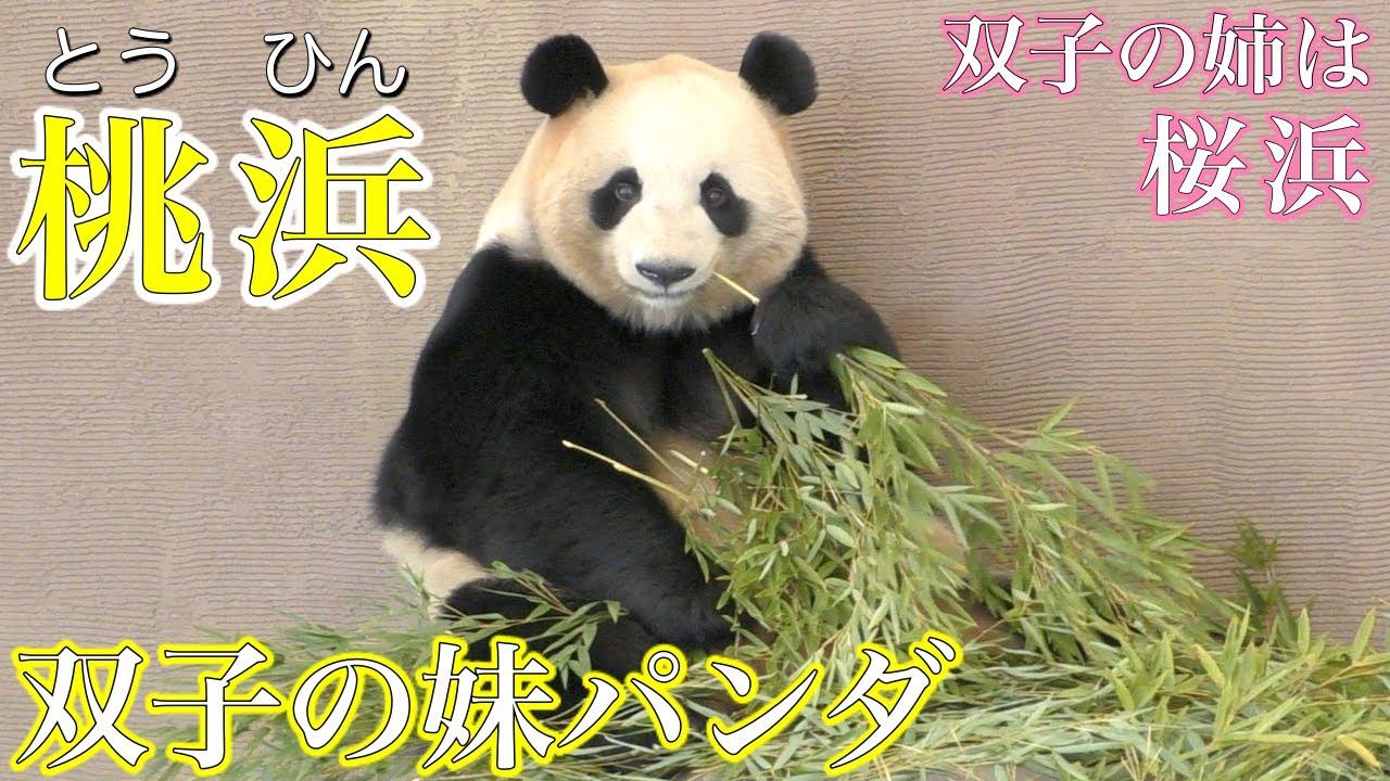 【桃浜】国内唯一の双子のパンダ〜「桃浜」は双子の妹、双子の姉は「桜浜」〜【アドベンチャーワールドのパンダ】