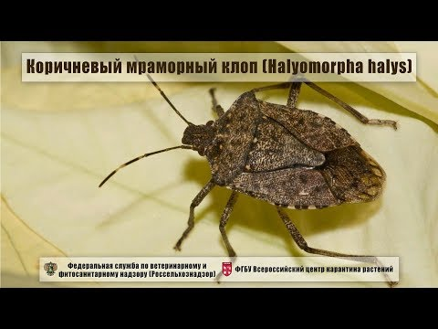 Коричневый мраморный клоп (Halyomorpha halys)