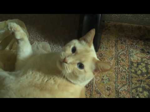 Frankie the 6 Toed Polydactyl Cat Having A Ton of Fun