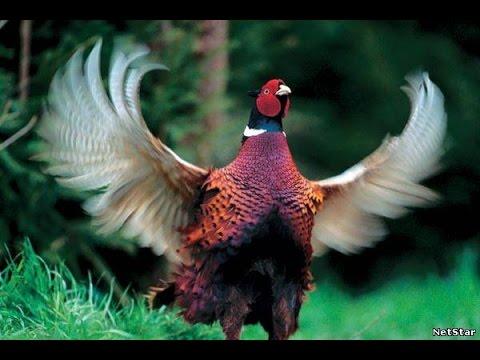 Поиск - охота на фазана