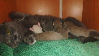 Наша кошка британка, Келли, родила 5 котят. РОДЫ КОШКИ