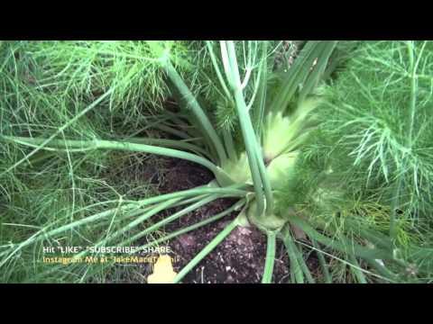 Fennel -  - Winter Foods to Grow in Your Garden 2 of 6