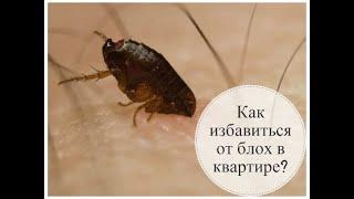 Как избавиться от блох в доме. How to get rid of fleas in the house
