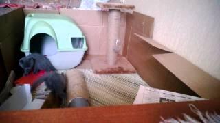 British kittens play котята играют