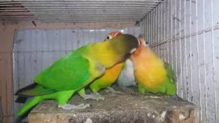 Indukan Lovebird meloloh anakan umur 40 hari